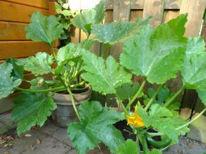 Courgettes in de tuin